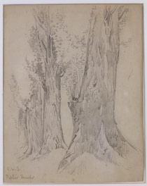 Poplar Trunks